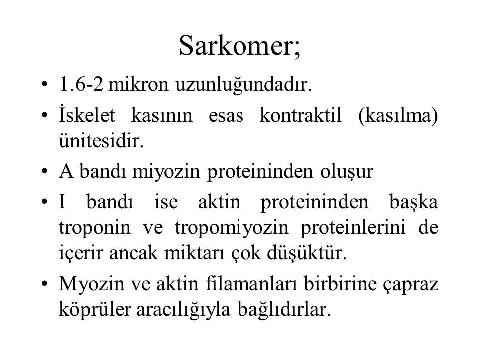 Sarkomer; 1.6-2 mikron uzunluğundadır.