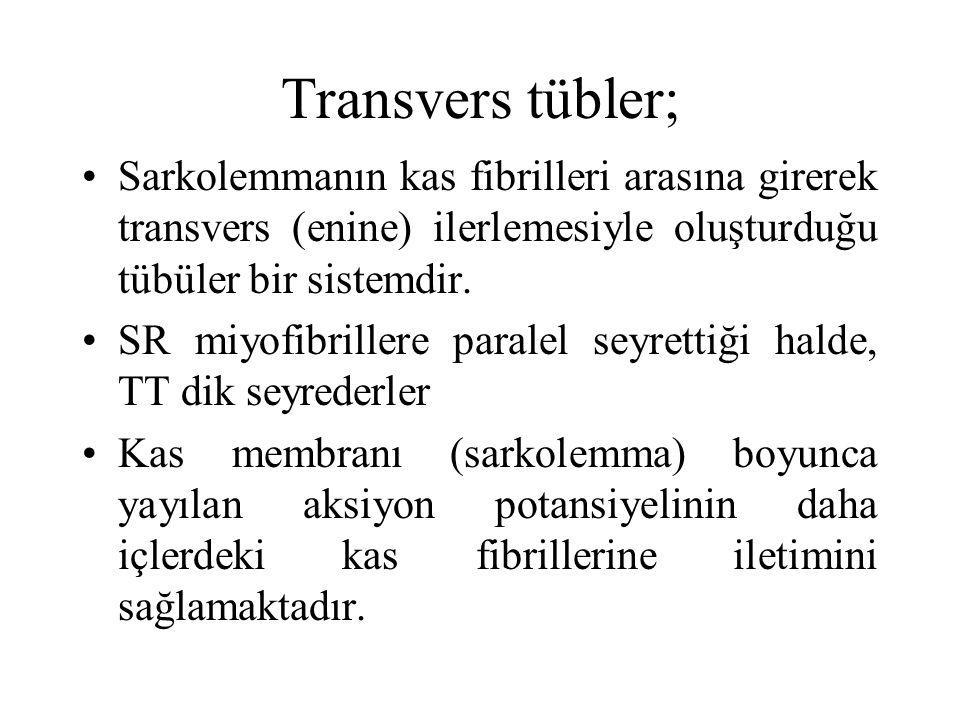 Transvers tübler; Sarkolemmanın kas fibrilleri arasına girerek transvers (enine) ilerlemesiyle oluşturduğu tübüler bir sistemdir.