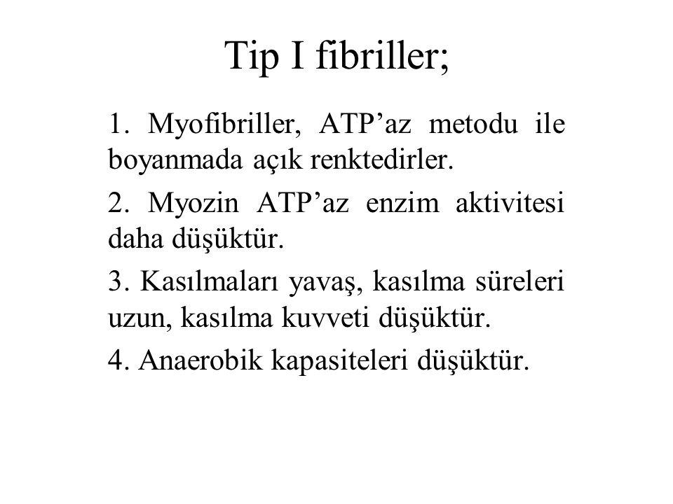 Tip I fibriller; 1. Myofibriller, ATP'az metodu ile boyanmada açık renktedirler. 2. Myozin ATP'az enzim aktivitesi daha düşüktür.
