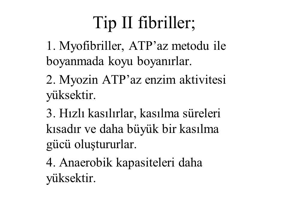 Tip II fibriller; 1. Myofibriller, ATP'az metodu ile boyanmada koyu boyanırlar. 2. Myozin ATP'az enzim aktivitesi yüksektir.