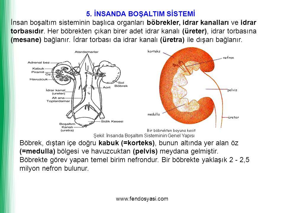5. İNSANDA BOŞALTIM SİSTEMİ