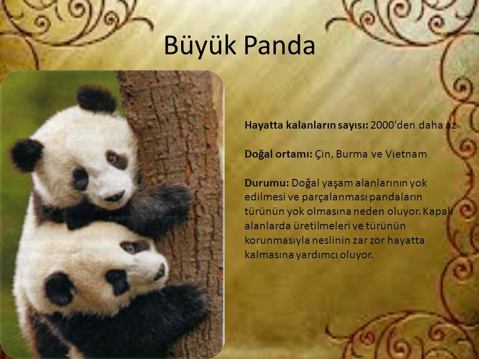 Büyük Panda Hayatta kalanların sayısı: 2000 den daha az