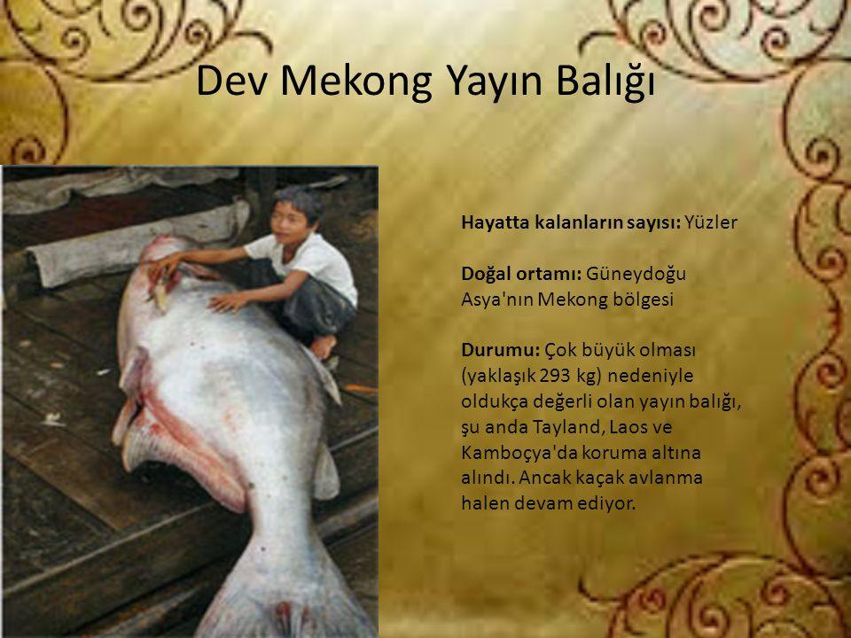 Dev Mekong Yayın Balığı