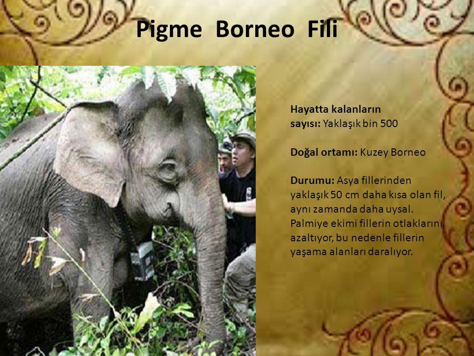 Pigme Borneo Fili Hayatta kalanların sayısı: Yaklaşık bin 500