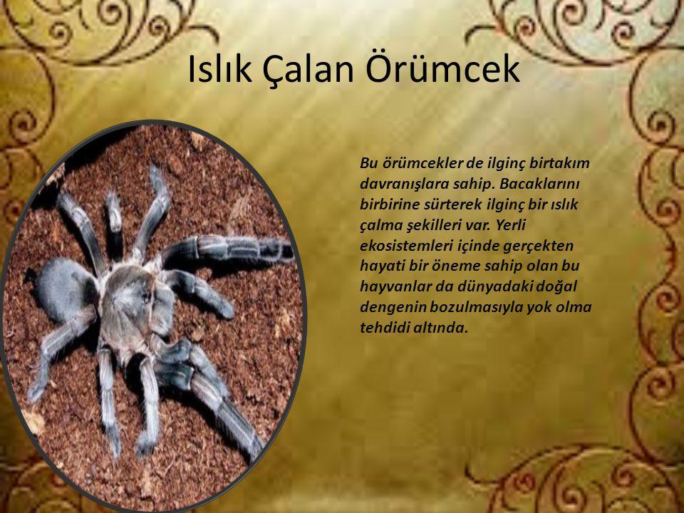 Islık Çalan Örümcek