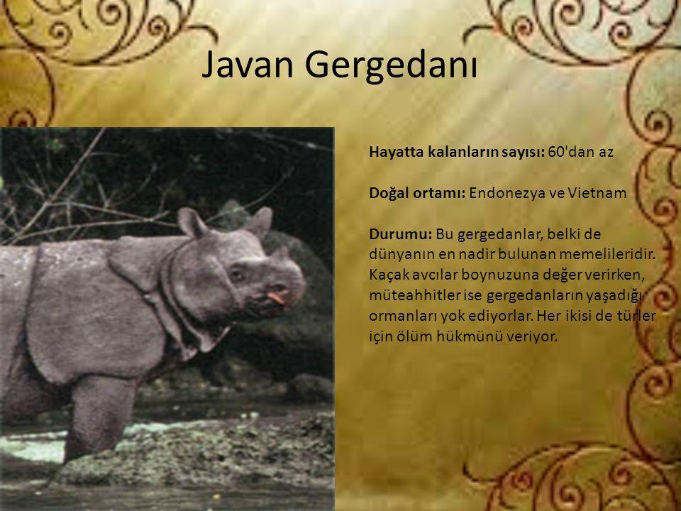 Javan Gergedanı Hayatta kalanların sayısı: 60 dan az