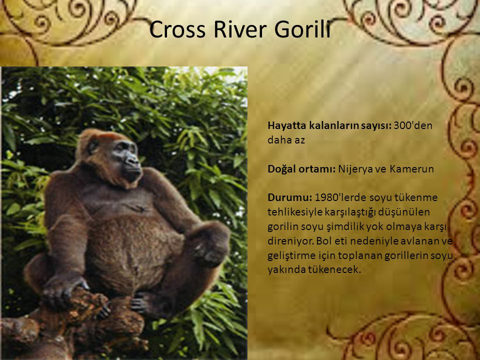 Cross River Gorili Hayatta kalanların sayısı: 300 den daha az