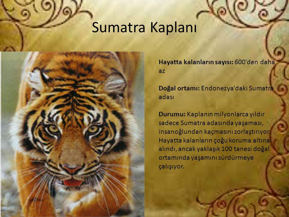 Sumatra Kaplanı Hayatta kalanların sayısı: 600 den daha az