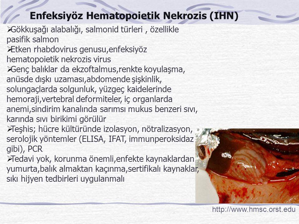Enfeksiyöz Hematopoietik Nekrozis (IHN)