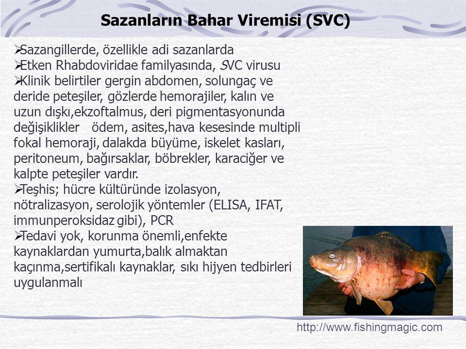 Sazanların Bahar Viremisi (SVC)