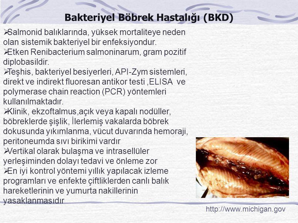 Bakteriyel Böbrek Hastalığı (BKD)
