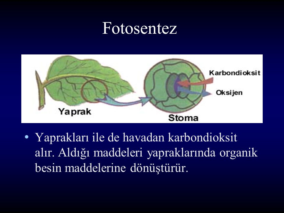 Fotosentez Yaprakları ile de havadan karbondioksit alır.