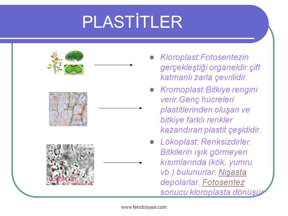 PLASTİTLER Kloroplast:Fotosentezin gerçekleştiği organeldir.çift katmanlı zarla çevrilidir.