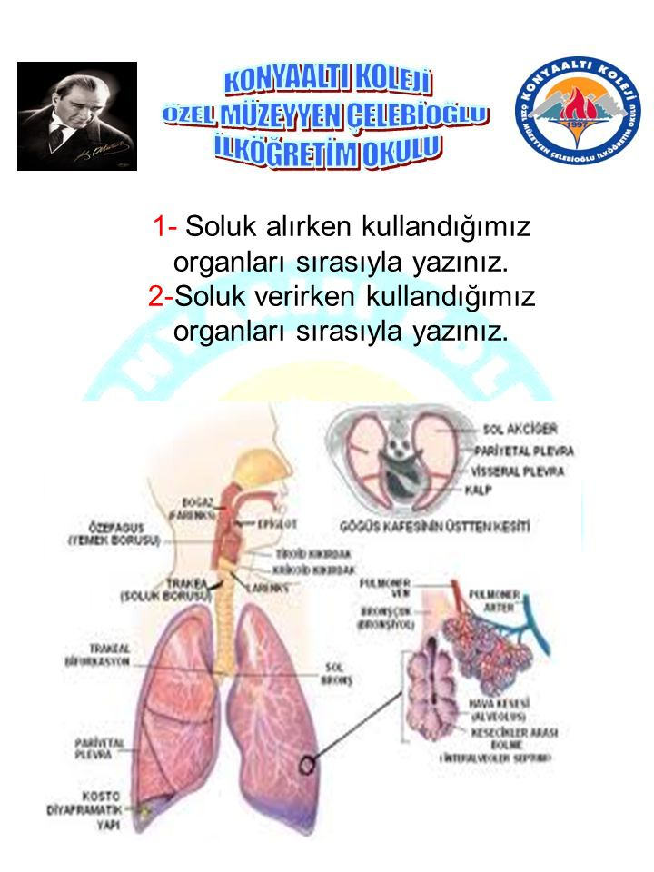 1- Soluk alırken kullandığımız organları sırasıyla yazınız.