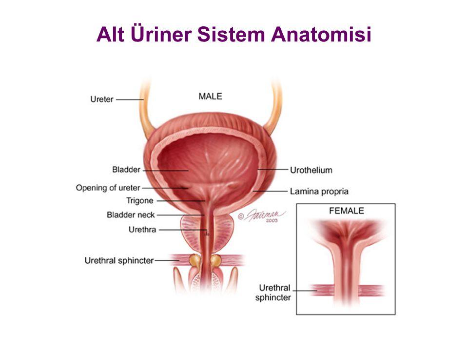 Alt Üriner Sistem Anatomisi