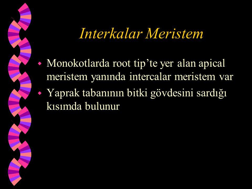 Interkalar Meristem Monokotlarda root tip'te yer alan apical meristem yanında intercalar meristem var.