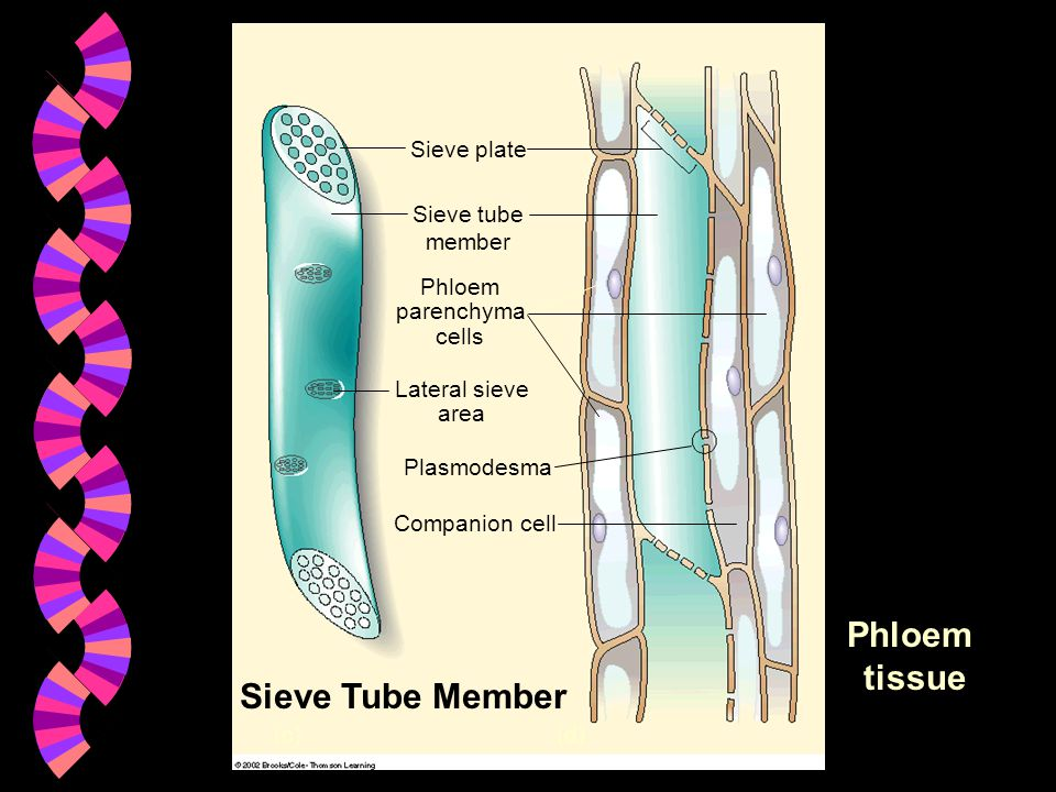 tissue Sieve Tube Member Companion cell (c) (d) Plasmodesma
