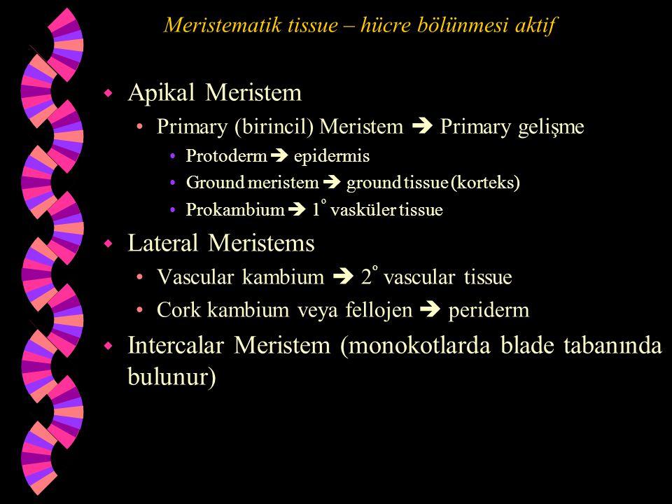 Meristematik tissue – hücre bölünmesi aktif