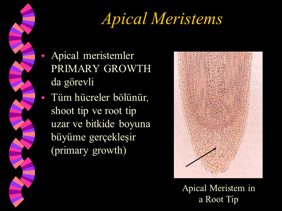 Apical Meristem in a Root Tip