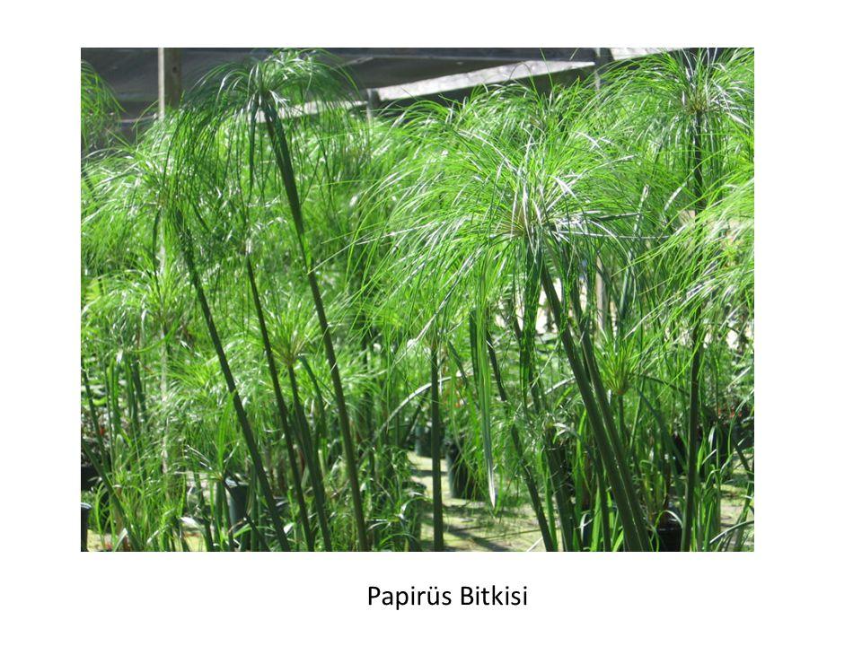 Papirüs Bitkisi