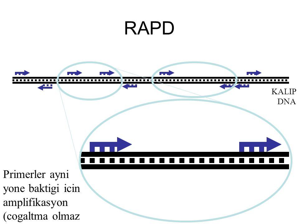 RAPD Primerler ayni yone baktigi icin amplifikasyon (cogaltma olmaz