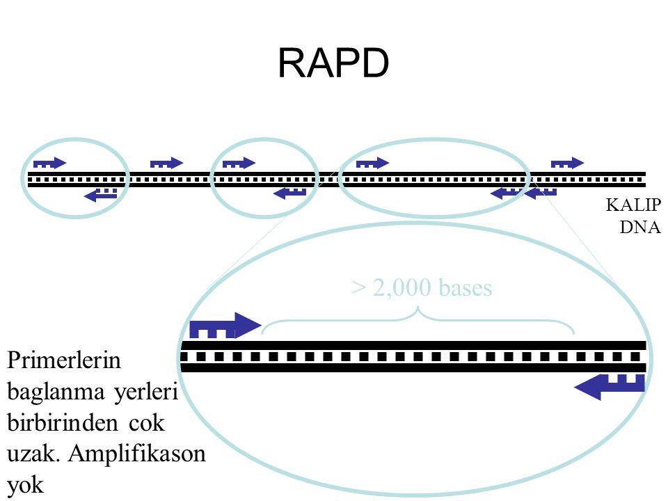 RAPD KALIP DNA > 2,000 bases Primerlerin baglanma yerleri birbirinden cok uzak. Amplifikason yok