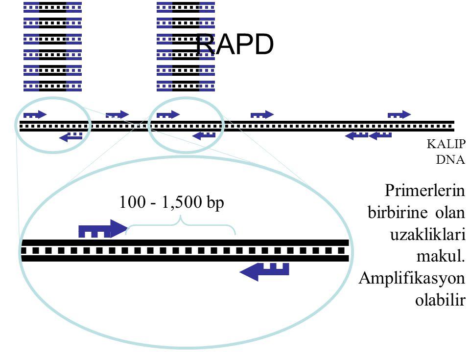 RAPD KALIP DNA Primerlerin birbirine olan uzakliklari makul. Amplifikasyon olabilir 100 - 1,500 bp