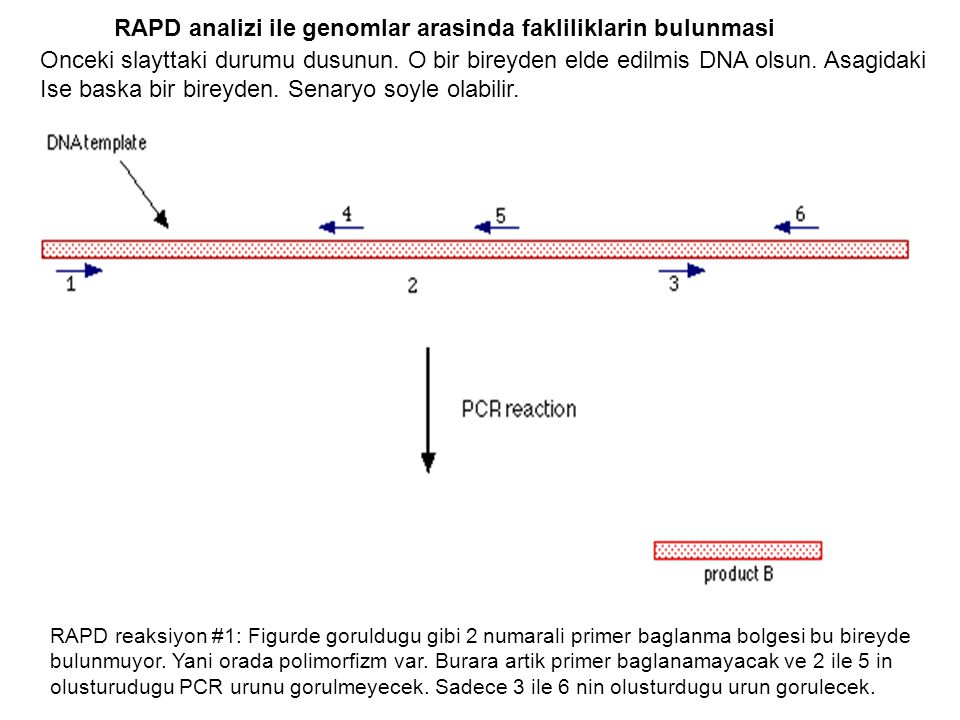 RAPD analizi ile genomlar arasinda fakliliklarin bulunmasi