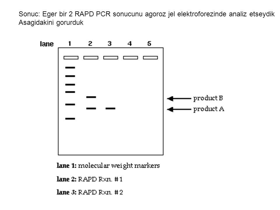Sonuc: Eger bir 2 RAPD PCR sonucunu agoroz jel elektroforezinde analiz etseydik