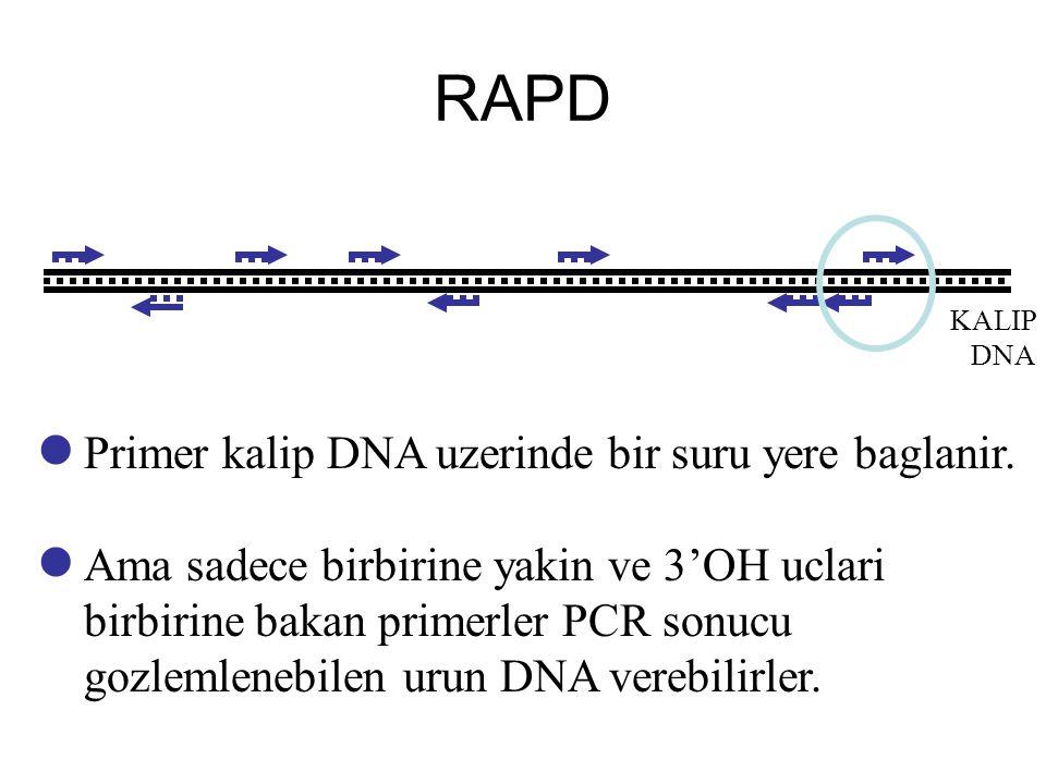 RAPD Primer kalip DNA uzerinde bir suru yere baglanir.