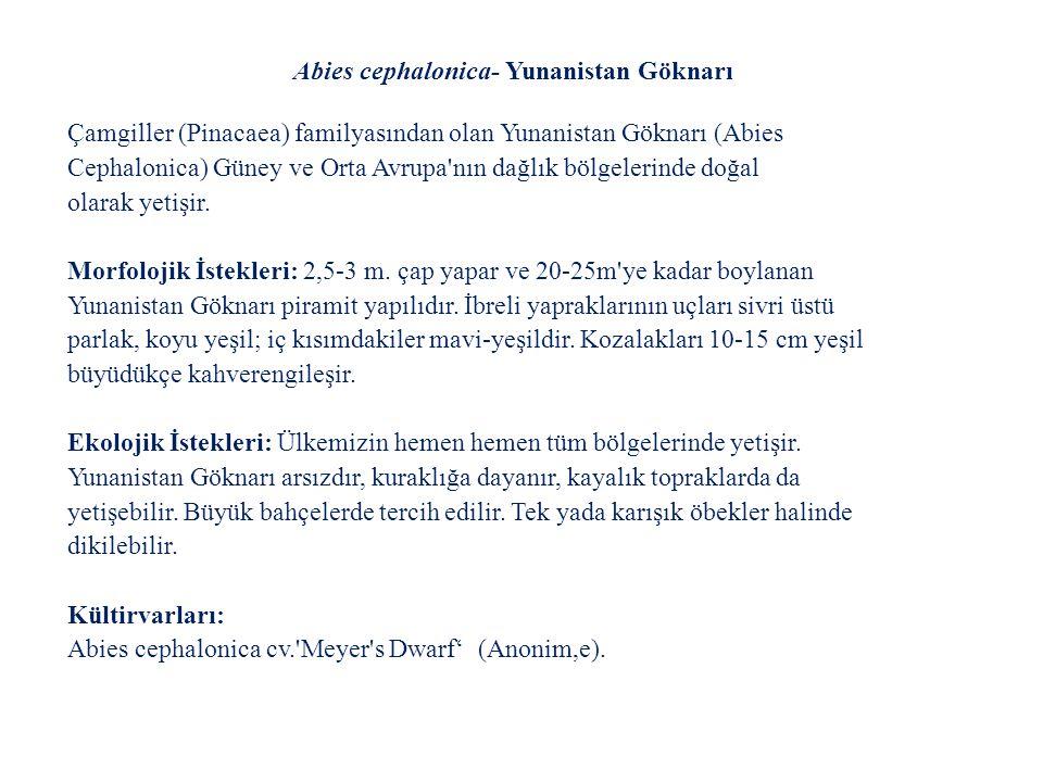 Abies cephalonica- Yunanistan Göknarı
