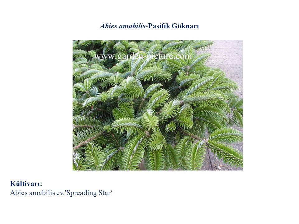 Abies amabilis-Pasifik Göknarı
