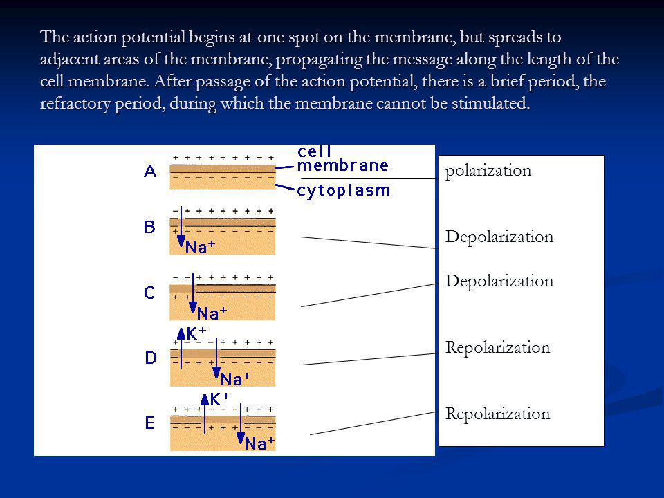 The action potential begins at one spot on the membrane, but spreads to adjacent areas of the membrane, propagating the message along the length of the cell membrane. After passage of the action potential, there is a brief period, the refractory period, during which the membrane cannot be stimulated.