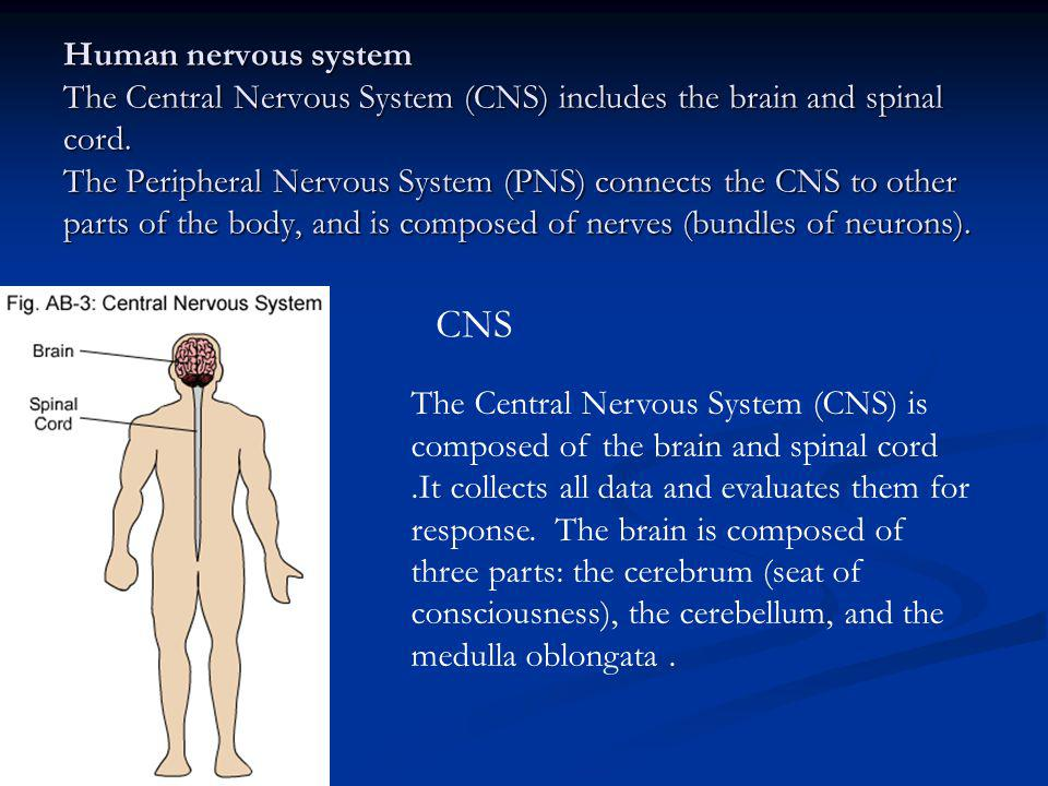 Human nervous system The Central Nervous System (CNS) includes the brain and spinal cord. The Peripheral Nervous System (PNS) connects the CNS to other parts of the body, and is composed of nerves (bundles of neurons).