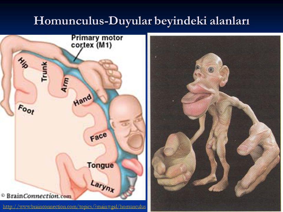 Homunculus-Duyular beyindeki alanları