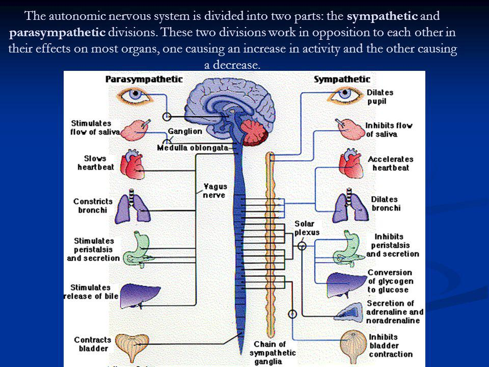 The autonomic nervous system is divided into two parts: the sympathetic and parasympathetic divisions.