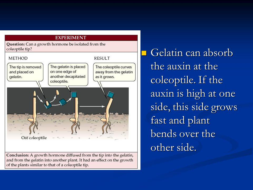 Gelatin can absorb the auxin at the coleoptile