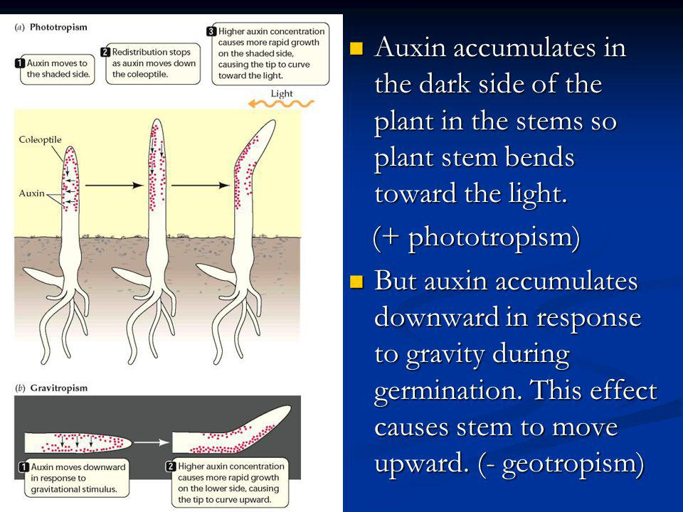 Auxin accumulates in the dark side of the plant in the stems so plant stem bends toward the light.