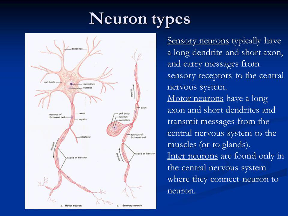 Neuron types Sensory neurons typically have a long dendrite and short axon, and carry messages from sensory receptors to the central nervous system.