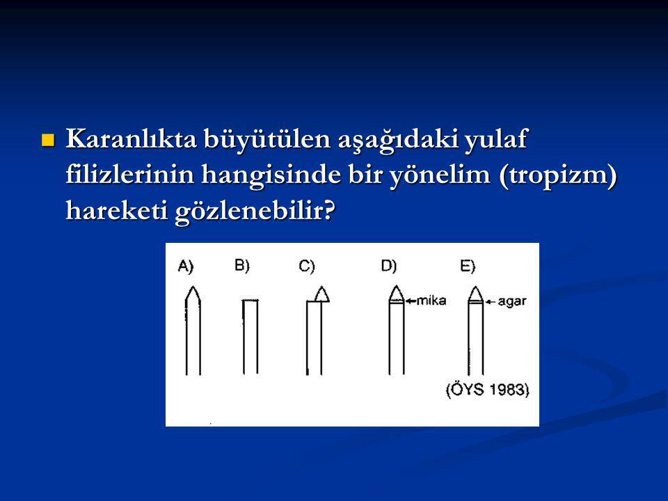 Karanlıkta büyütülen aşağıdaki yulaf filizlerinin hangisinde bir yönelim (tropizm) hareketi gözlenebilir