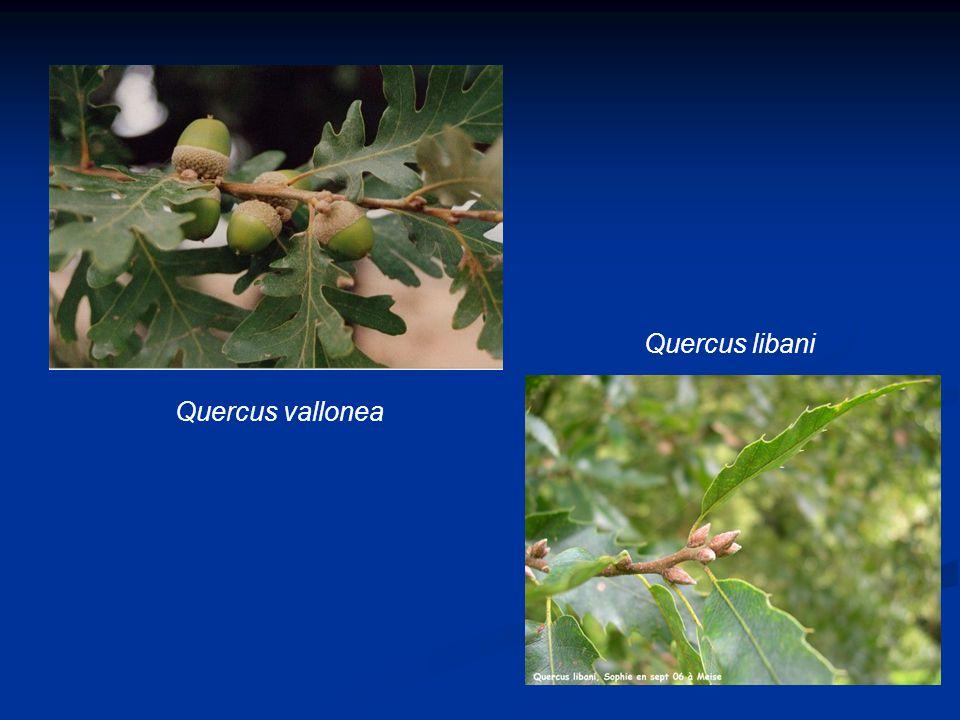 Quercus libani Quercus vallonea