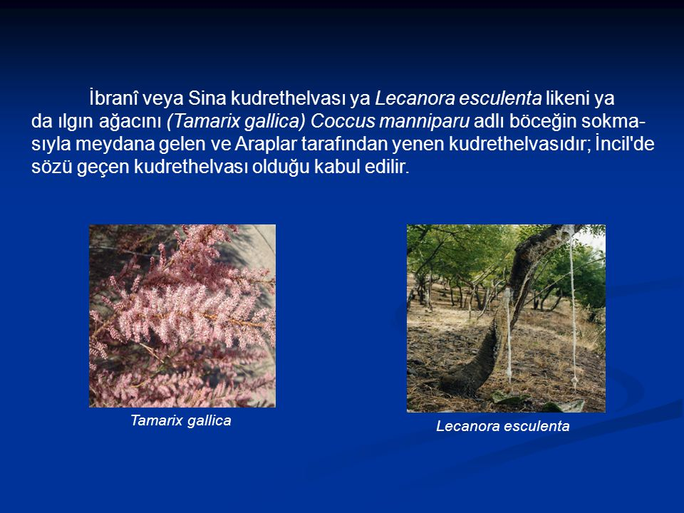 İbranî veya Sina kudrethelvası ya Lecanora esculenta likeni ya da ılgın ağacını (Tamarix gallica) Coccus manniparu adlı böceğin sokma-sıyla meydana gelen ve Araplar tarafından yenen kudrethelvasıdır; İncil de sözü geçen kudrethelvası olduğu kabul edilir.
