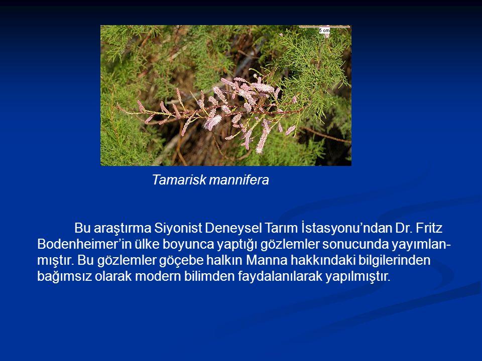 Tamarisk mannifera