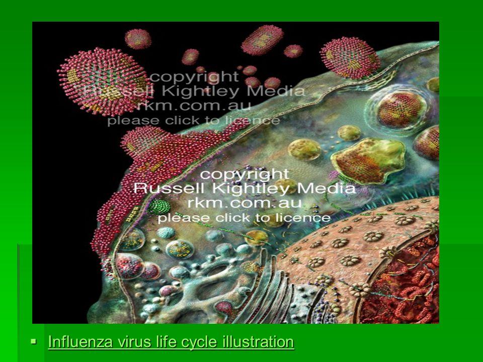 Influenza virus life cycle illustration