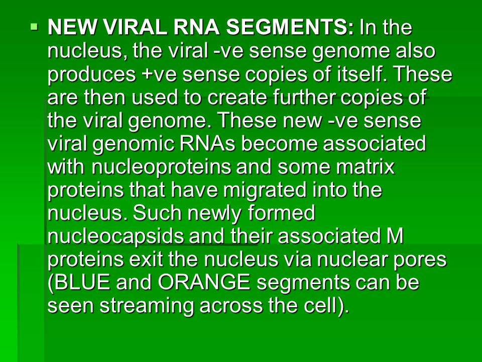 NEW VIRAL RNA SEGMENTS: In the nucleus, the viral -ve sense genome also produces +ve sense copies of itself.