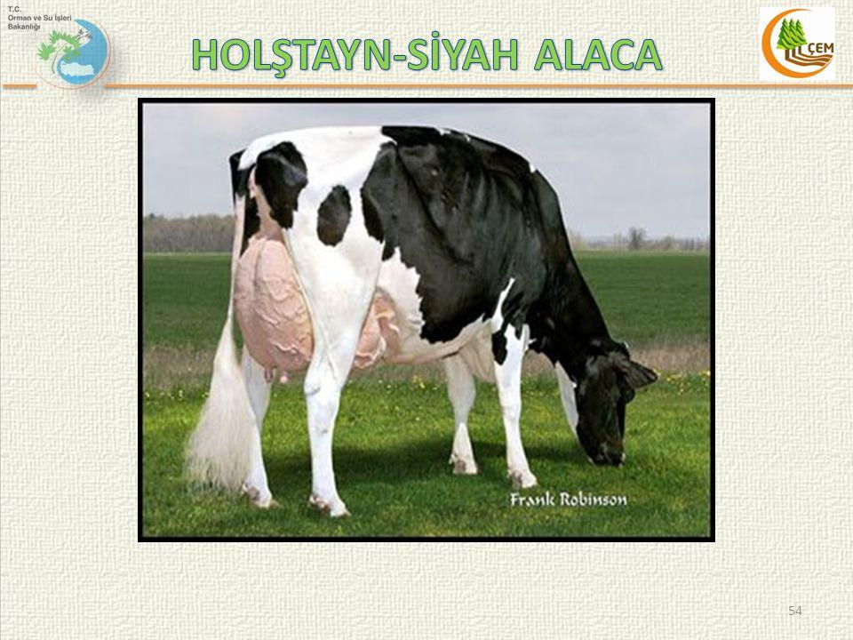 HOLŞTAYN-SİYAH ALACA