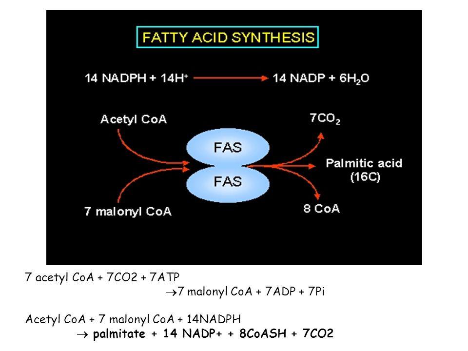 7 acetyl CoA + 7CO2 + 7ATP 7 malonyl CoA + 7ADP + 7Pi.