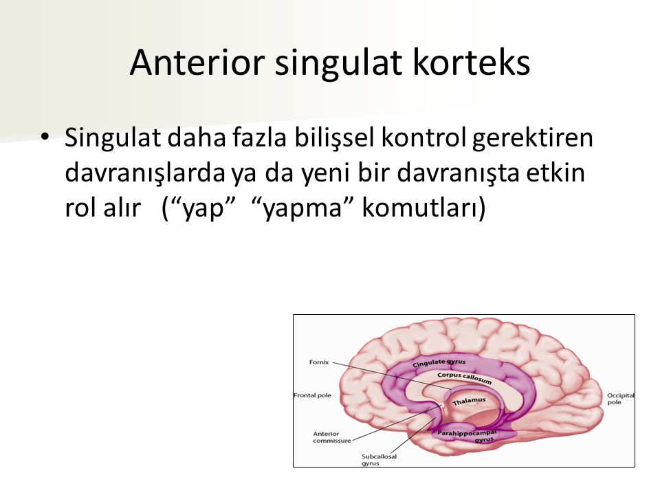 Anterior singulat korteks