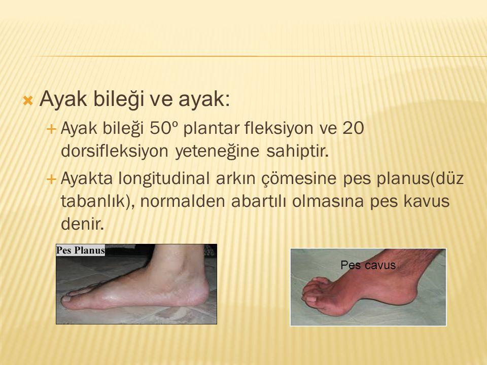 Ayak bileği ve ayak: Ayak bileği 50º plantar fleksiyon ve 20 dorsifleksiyon yeteneğine sahiptir.