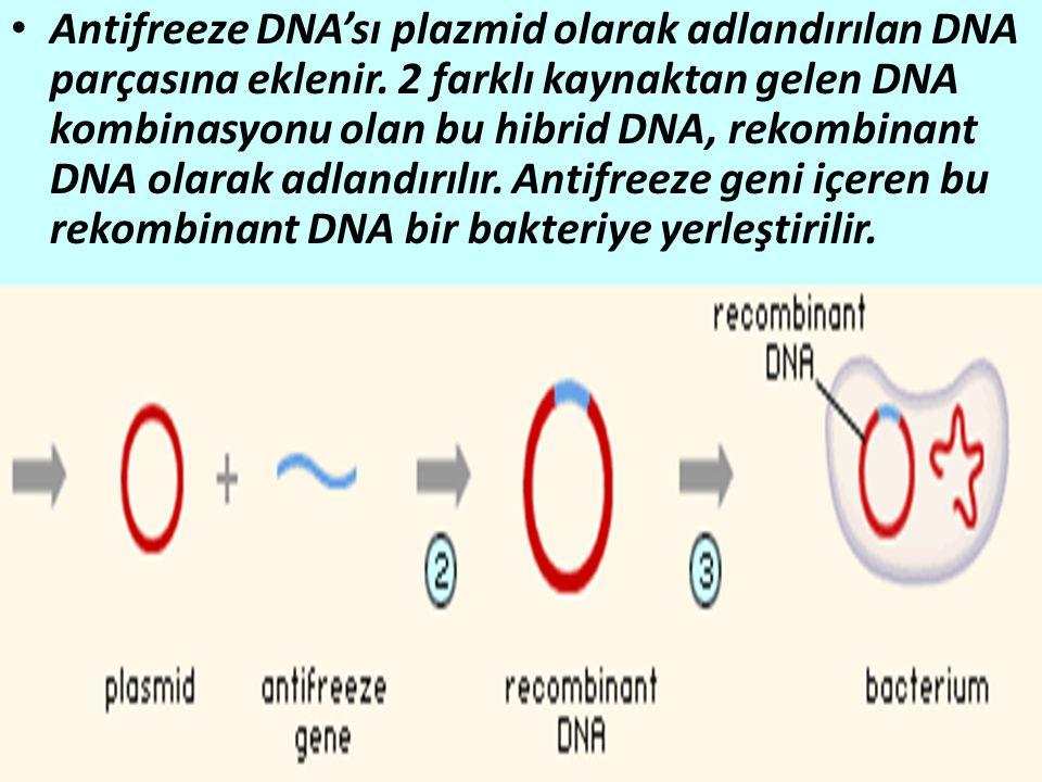 Antifreeze DNA'sı plazmid olarak adlandırılan DNA parçasına eklenir